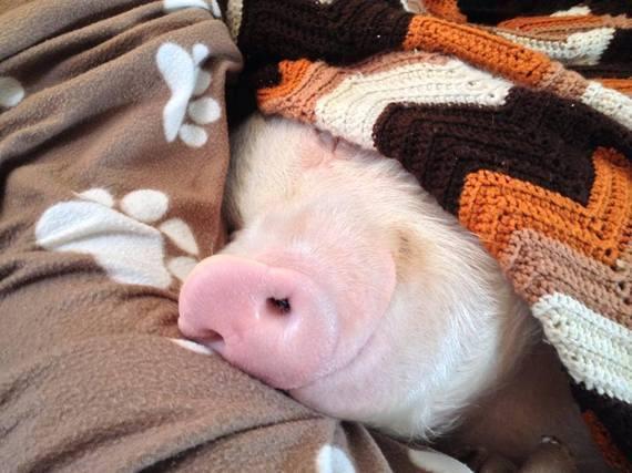 snuggly pig