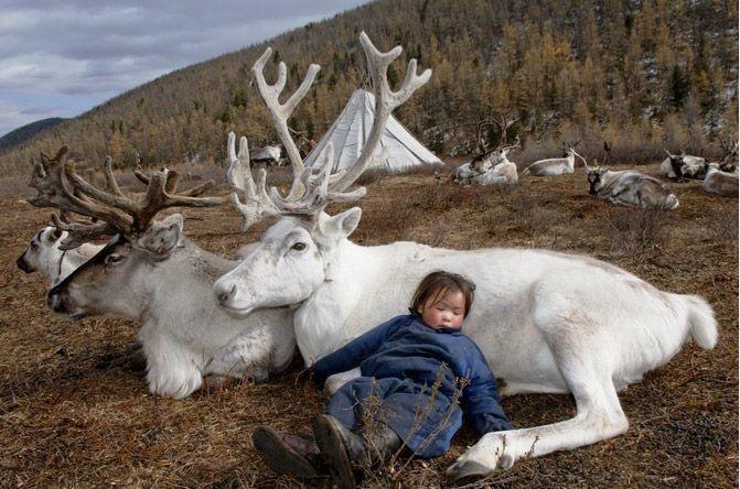 Mongolian tribe - child sleeping with reindeer